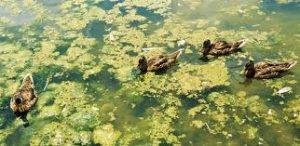 p-pollution-algae